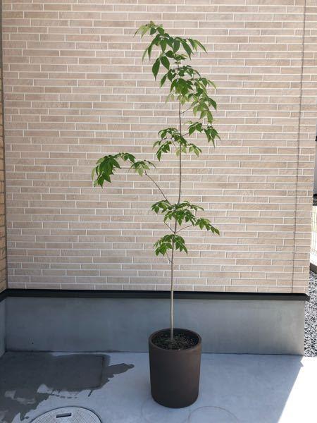アオダモの幼木を買って鉢植えで育てています。 昨年の12月頃から育てて今150cmほどです。本当は地植えの方がいいのでしょうが、できればずっと鉢植えで育てたいと思っています。 そこで質問なのですが、アオダモを鉢植えで育てることは可能でしょうか。もし可能だとしたら、剪定や植え替えなど、育てていく上での注意点など教えていただけるとありがたいです。今の鉢植えは直径26cmほどです。