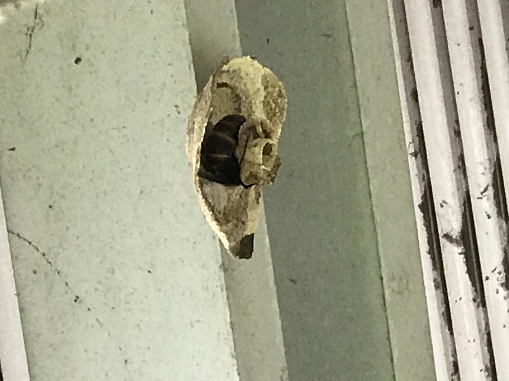 この黒くて大きい蜂はスズメバチですか? 洗濯干し場のすぐ上に巣を作られてしまいました。 あまり見ない黒地に黄縞模様の蜂です。