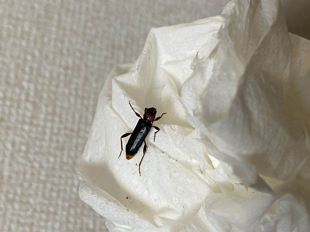 この虫はなんていう名前ですか? 1週間前から家の中に度々現れ、駆除する度に出てきます。最初はGかと思っていましたが違うみたいです。住み着きやすい場所や駆除方法などがあれば教えて欲しいです。