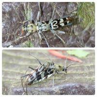 カミキリムシの種類 写真のカミキリムシについて 種類が分かる方、ご教示ください。  昨日福岡県で撮影したものです。 エグリトラカミキリでしょうか。