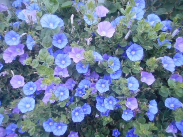 今朝5時頃、自宅近くで見かけました。 どことなく朝顔に似ていますが、直径は3cm程度の小さな花で、とっても見事に咲いていました。 夕顔?夜顔? 名前をお分かりの方、教えて下さい。