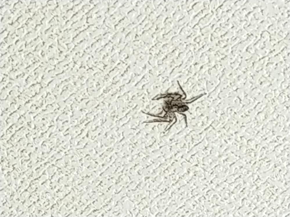 ベッドに仰向けに横たわると、天井にクモさんがいたのですがなんて言う蜘蛛なのか分かる方いませんか? 胴体が少し薄っぺらくて、足広げて1〜1.5センチぐらいの小さなクモさんです
