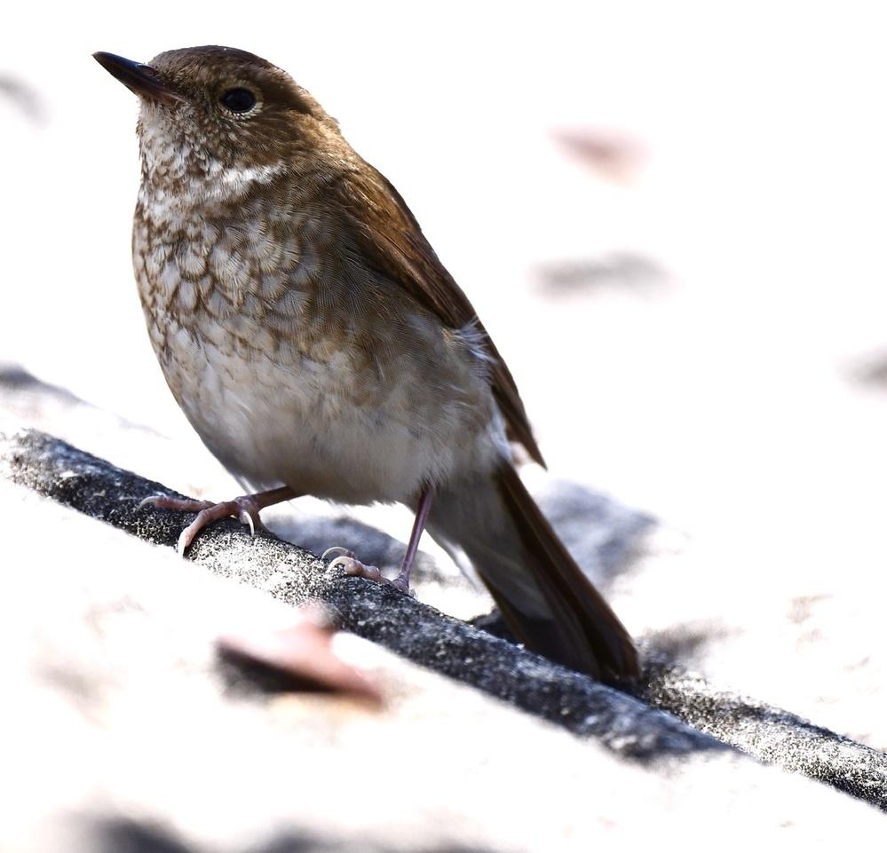 この鳥の名前をお教えください シマゴマでよろしいでしょうか? 先日と同じ日本海側の離島で本日撮影したものです。 胸のウロコ模様と明瞭なアイリングが特徴に思えるのですが、 いた場所が民家の倉庫の上なので 藪に紛れてないので、シマゴマかどうか 私の知識では判別できません。 どうかよろしくお願いします。