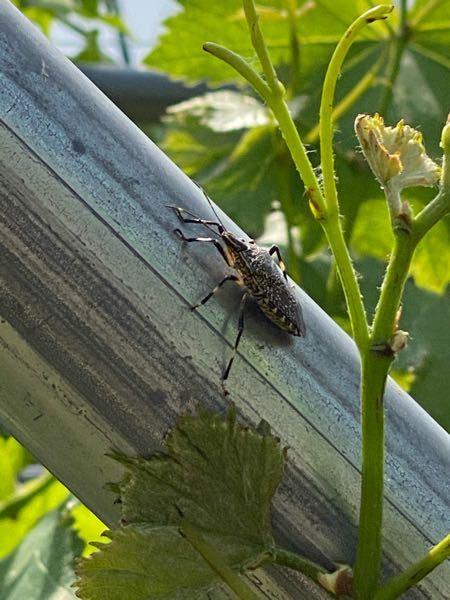 この虫 ブドウ畑にいるのですが何虫でしょうか。 教えてくださいませ。