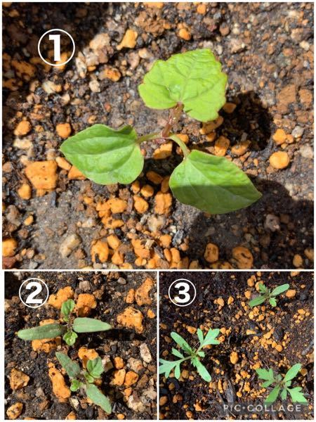 植物に詳しい方にこの植物がなんなのか教えていただきたいです! 3週間ほど前にミニトマトとマリーゴールドの種を植えたのですが、種をまいたところに①の植物がたくさん生えていました。ミニトマトだと思っていまし たが、ネットでミニトマトの発芽画像を検索すると、なんだか違うような、、ミニトマトとマリーゴールドの芽もなんだか似ていてそうでそれもよくわかりません、、①がトマトで②③がマリーゴールドでしょうか? よろしくお願い致します。