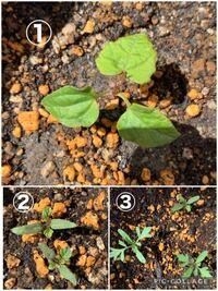 植物に詳しい方にこの植物がなんなのか教えていただきたいです! 3週間ほど前にミニトマトとマリーゴールドの種を植えたのですが、種をまいたところに①の植物がたくさん生えていました。ミニトマトだと思っていまし たが、ネットでミニトマトの発芽画像を検索すると、なんだか違うような、、ミニトマトとマリーゴールドの芽もなんだか似ていてそうでそれもよくわかりません、、①がトマトで②③がマリーゴールドでしょう...