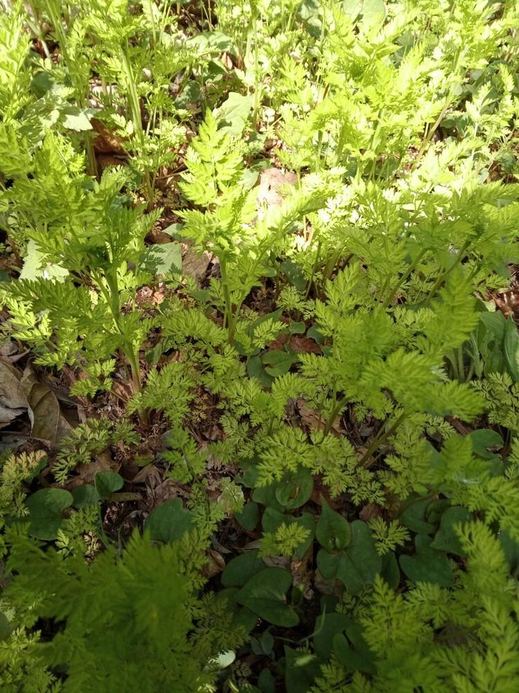 この植物の名前わかりますか? 裏庭に生えていました。50cmくらいまで伸びます。 まっすぐに伸びて結構芯があるしっかりした草という感じでたくさん生えています。 特に花は咲かせなかったと思います。