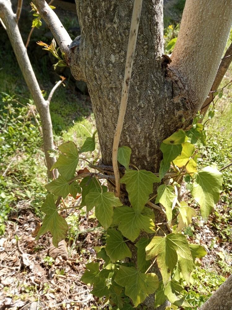 この木の名前わかりますでしょうか。3メートル以上伸びるようです。 のこぎりで切ると手ごたえなく簡単に切れます。生え始めると伸びるのが非常に速いようです。