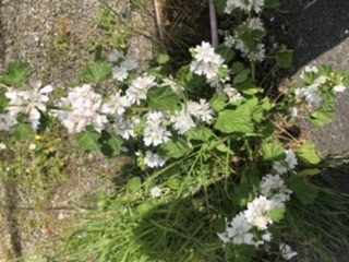 この花の名前を知りたいです 葉っぱはキュウリみたいな形 花は白でした