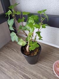 観葉植物の名前が知りたいです。 今うちで育てている観葉植物の名前が分かりません。なので育て方をちゃん調べたいと思い相談します。 どなたか知っていたら教えてください。 よろしくお願いいたします。
