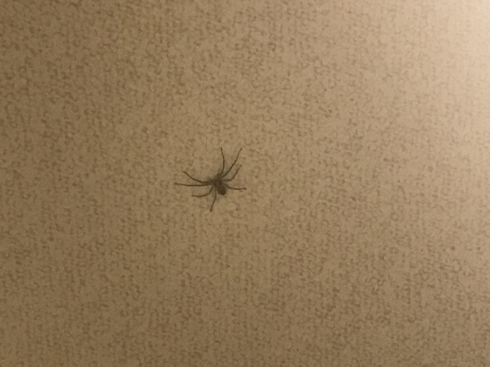 家にめっちゃ動き早い蜘蛛いたんですがこれはまさかアシダカグモの子供ですか?? 大きさは2cmくらいのサイズでした