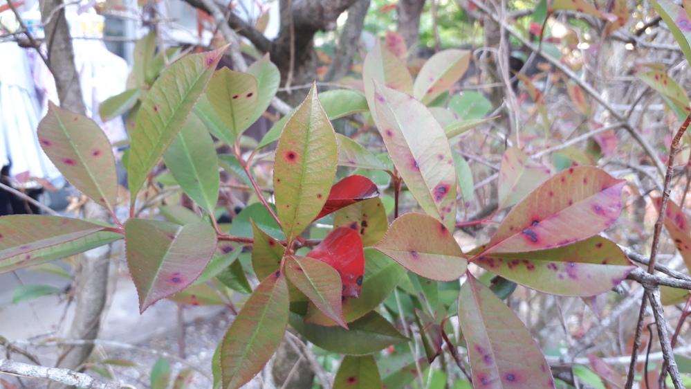 これは病気になっているのでしょうか? 別の場所のは、緑と赤い葉っぱで艶やかです。三年前剪定して去年から半分枯れたような感じで樹勢が無いようです。