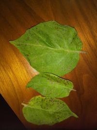 ジャガイモの葉に黒い点点が、病気でしょうか?