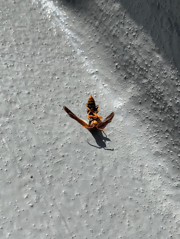 この前家のベランダに蜂の巣が出来ました。旦那が駆除しましたが、結局何の蜂かわかりませんでした。 旦那曰く、巣がハニカム構造だったからスズメバチではないと言っていました。 この写真で種類を特定することは可能でしょうか? 詳しい方よろしくお願いいたします。