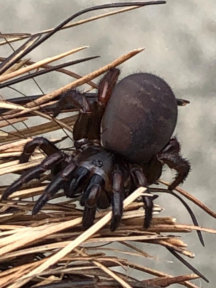 この蜘蛛は何ですか? ホウキに引っ付いていました。 体長1.5センチくらいです。 宜しくお願い致します。