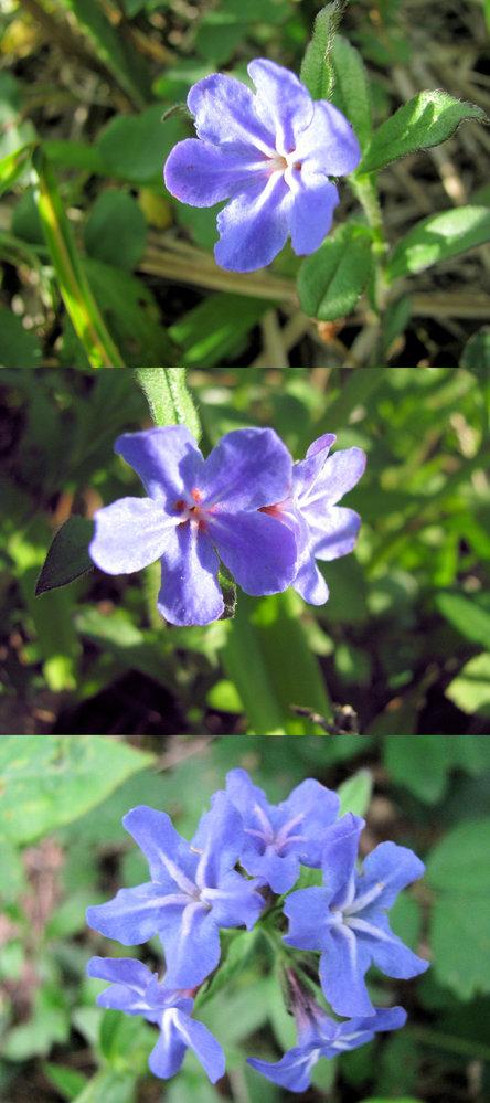 新型コロナウイルス蔓延という事で、結構 皆さん山(登山)や草原(キャンプ)など山野に行っているそうですが、 僕もカメラ片手に行ってみました。 画像 ↓ はそこ(山)で撮った写真です。 青っぽい 1cmくらいの小さな花です。背丈も高くは有りません。 何という名前の植物でしょうか??