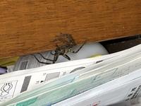 この蜘蛛はアシダカグモですか?