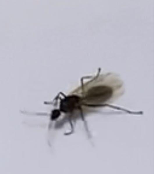 今日、自宅に羽のついたアリが出ました。 当方築30年ほどのマンション6階住まいです。 画像がぼやけていてすみませんが、 これはシロアリの羽付きではないですよね? 頭、胴体、お尻にクビレがあったと思います。 虫に詳しいかた、教えて頂けませんか。 よろしくお願いいたします。