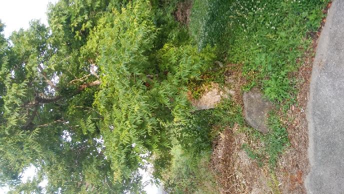 ハジの木を伐ろうかどうかで悩んでいます。元々は昔ろうそくの材料を取るために植えたらしいのですが、今では合理性がありませんよね?