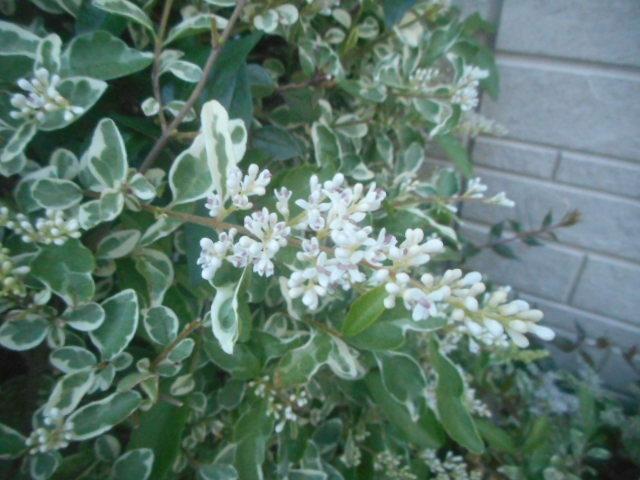 ここはすぐ横にフレンチラベンダーが咲いていまして、先日はラベンダーばかりに気になってしまい、この花には気づきませんでした。 今朝ここを通りかかりましたら、かなり見事に咲いていましたので思わず写真を撮ってしまいましたが、名前がわかりません。 名前をお分かりの方、教えて下さい(検索する気がなくて申し訳ありません...)。