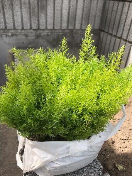 この植物なんていう植物ですか? 球根です