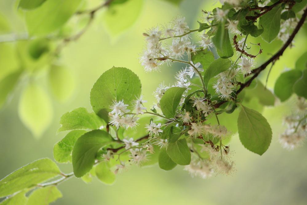 この間,森林を散策したときに見つけたのですが, この木の名前が分かる方いらっしゃいますか? 発見時期は4月の下旬です。 よろしくおねがいします。