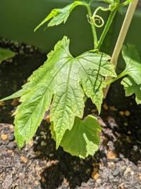 ゴーヤの葉に白い(少し黄色っぽい)小さな点々ができています。何の病気か、そして解決方法を知りたいです。 粉がふいている感じではないので、うどんこ病?ではないと思います。葉の裏までできています。