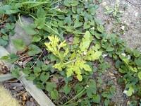 これってアブラナですか? 黄色い花を咲かせました。