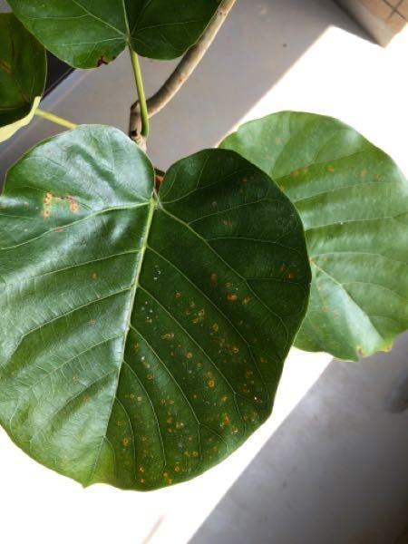 プレゼントでウンベラータをもらいました。葉っぱが病気になっていると思うのですが、観葉植物初心者の為、病名も対処法もわかりませんでした。詳しい方、教えていただきたいです。よろしくお願いします。