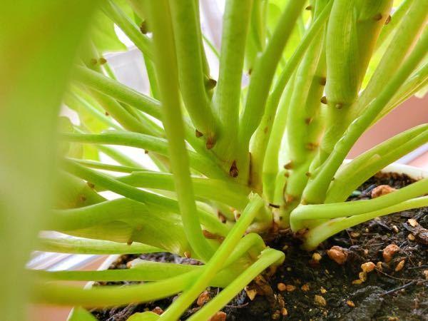 観葉植物(シンゴニウム) 株分け 約1年育てているシンゴニウムが成長して季節もいい感じになってきたので、そろそろ株分けしたいなと思っています。株分けって茎が太くなっているところを根元から手でぱき...