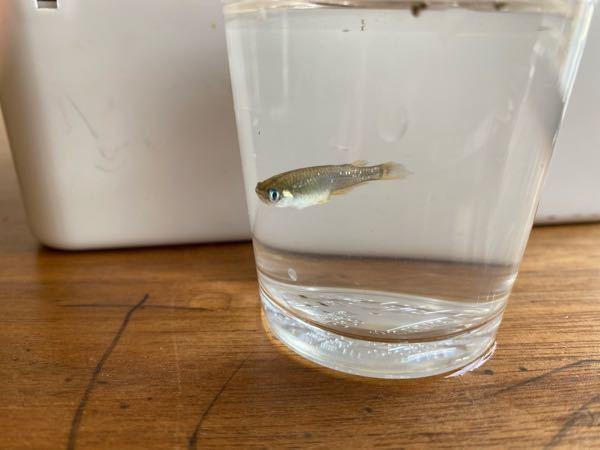 この魚はメダカでしょうか? 子供達が昨日とってきたので飼育しようと思い、調べて見たところ、メダカに似た魚がいるようで‥中には外来種もいるようなので心配になりました。 自分で見比べてみてもわかりません。 10匹程捕まえてきたのですが皆尾びれもヒレもボロボロ?元からこれ?なのか検索して出てくる画像のメダカ、カダヤシの様に大きな尾びれではないです。 どなたかわかる方いましたら教えて下さいm(_ _)m