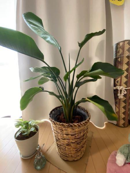 観葉植物のオーガスタについて相談です。去年の11月にネットで購入して、すくすくと成長はしているのですが、下の葉が垂れて丸まっているのが気になっています。 今までの観葉植物は根腐れで枯らしてしまうことが多かったため、そうならないように今は1、2週間に一回たっぷりと水をあげるようにしています。まだ一回も肥料などはあげていません。カーテンのレース越しに日が当たるところにおいています。 ネットで調べると下の歯から枯れていく、というようなことが記載していましたが、、心配いりませんでしょうか? お詳しい方いらっしゃれば教えていただきたいです。