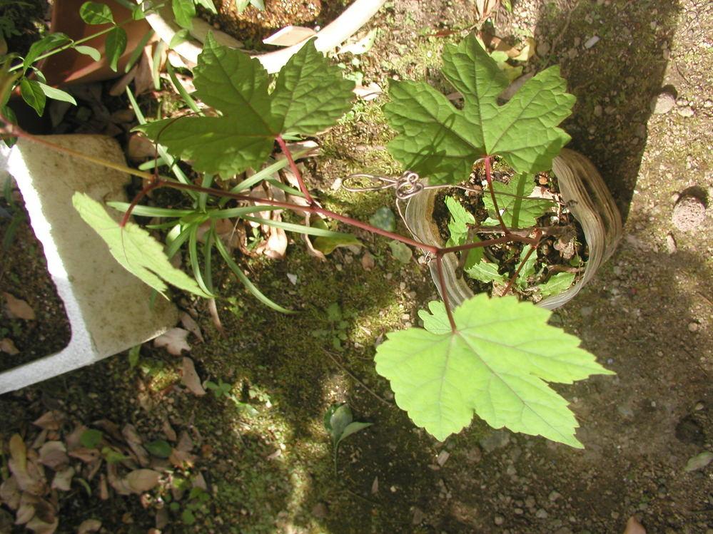 ☆植物の名前について 1 春になり、種も播いていないのに庭に色々の植物が自然に芽を 出してきています。しかし、その植物の名前が分からずに困っています。 2 写真の植物は、ブドウの苗でしょうか。それとも単なる雑草でしょうか。 3 狭い庭ですから、整理する必要があります。 どなたか教えてください。