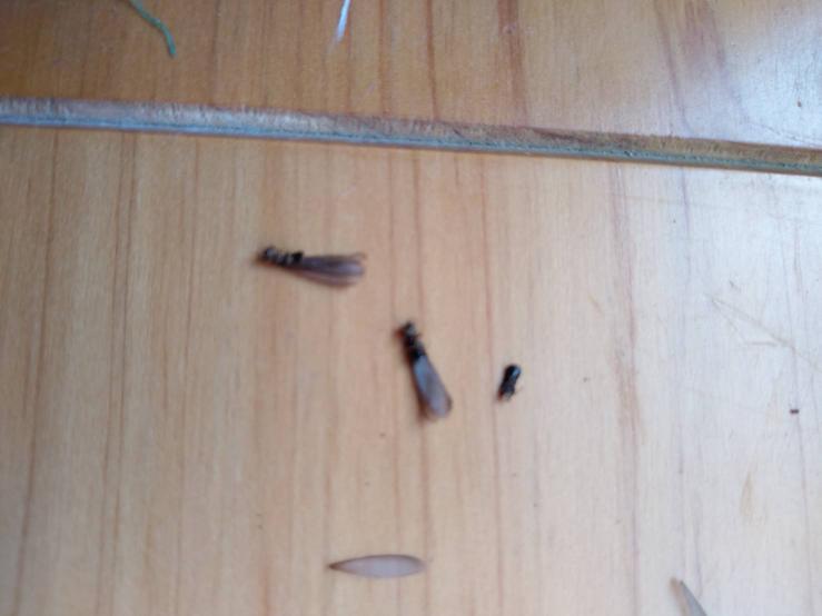 シロアリですか?? 実家に行ったら玄関に羽がある虫がたくさん死んでいました。パッと見てシロアリや!と思いましたが、後日近所に住む親戚にこの時季に湧く虫と言われたようです。