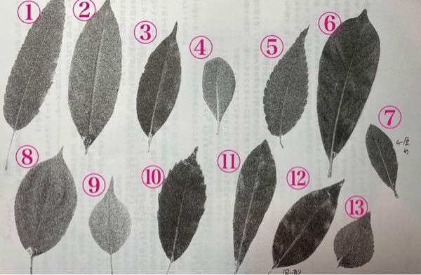これらの葉はそれぞれ、クスノキ、アラカシ、スダジイ、トベラ、クヌギ、ソメイヨシノ、ヤマモモ、ゲッケイジュ、ウメ、ケヤキ、エノキ、キンモクセイ、マテバシイのいずれかです。 どれがどの葉にあたるか教えて欲しいです