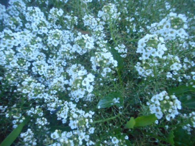 日の出前に自宅近くで見かけました。 白い花ということもありましてはっきりと写っていなくて申し訳ありません。 この花はコンボルブルスでしょうか?それとも別の花でしょうか? お分かりの方、教えて下さい。
