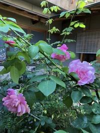 バラの品種を教えていただきたいです。 庭のバラなんですが、名前が知りたいです。 私(30代)の曽祖父が育てていたと聞くのでだいぶ古いんですが、ご存知の方いらっしゃるでしょうか。 ピンクの大輪、おそらく半つる性で、香りがつよいです。 昔流行った品種なんでしょうかね。