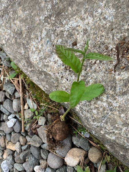 この植物の名前を教えてください。知らないうちにプランターに生えていました。