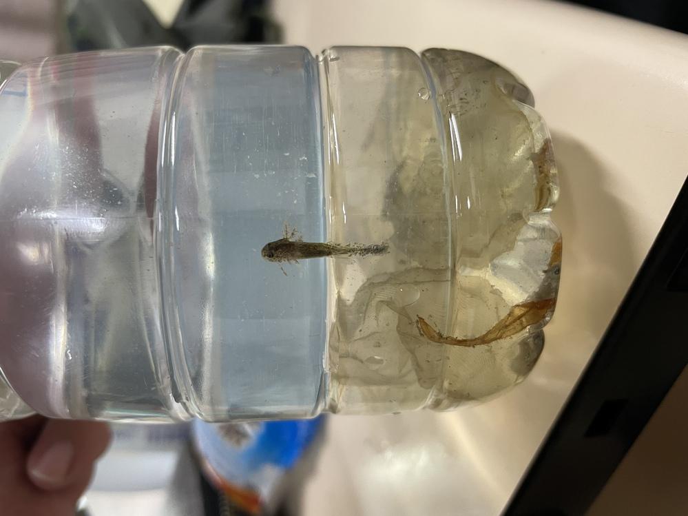 この稚魚は何の稚魚ですか? 山の水溜りにあって、カエルのようなブヨブヨの卵から孵化しました! わかる方教えてください