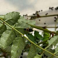 閲覧注意⚠️ アゲハ蝶の幼虫を捕まえたのですが、山椒の葉に一緒についてきたこの虫はなんですか?