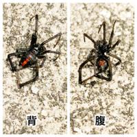 最近マンション敷地内でたまに見かける蜘蛛なのですが、添付した画像の蜘蛛はセアカゴケグモでしょうか? 腹部に砂時計のような赤い模様はあるのですが、検索で出てくる画像ほどお腹が丸くないので確証が持てません。 一応見かけるたびに駆除はしています。