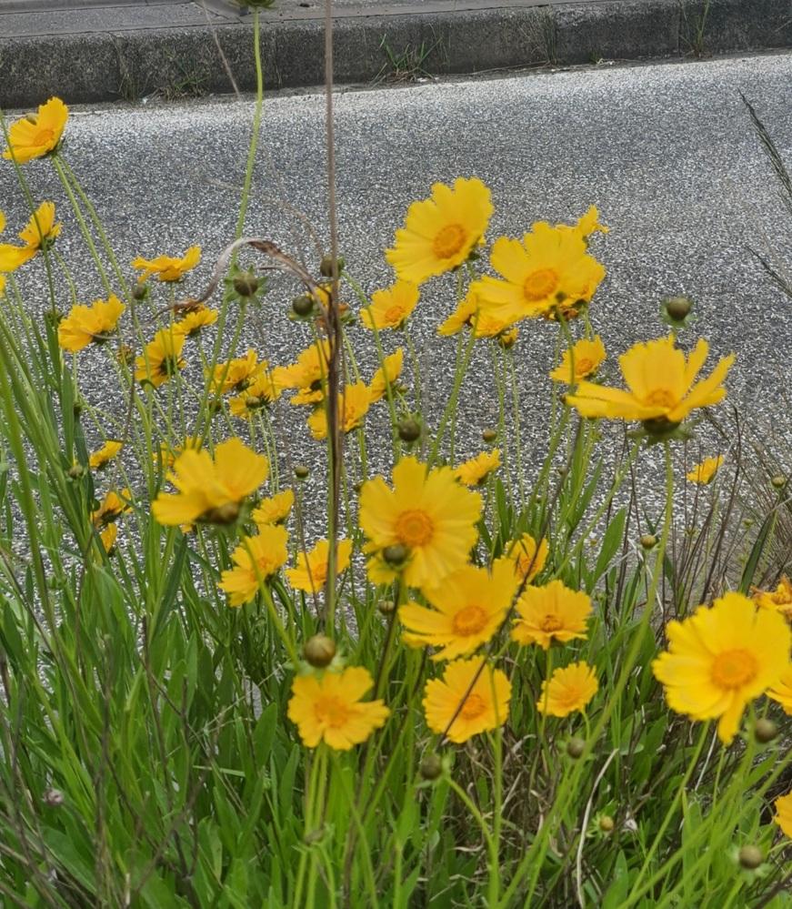 道路の脇に咲いているこの花はなんという種類ですか。とてもきれいなので、我が家の土手にも植えたいです。