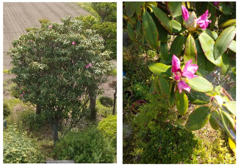 写真の植木を剪定したいのですが名前は何ですか? 右側は花の拡大写真です。 また剪定する場合どのような形が望ましいですか? 知識のある方ご教授願います。