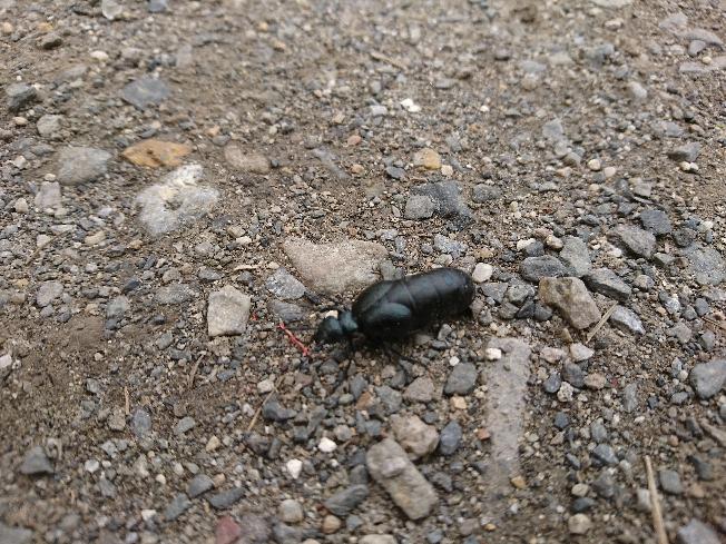 今日庭を歩いてました。 女王蟻かなと思ったのですがどうなのでしょう? 詳しい方お教え願えませんか?
