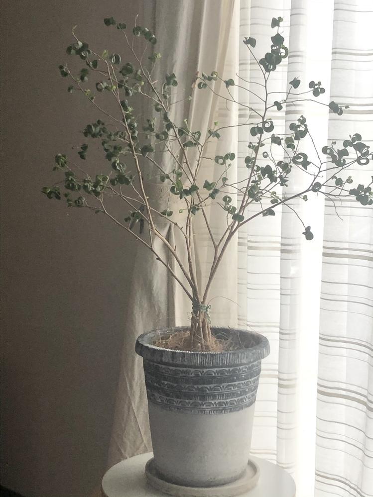 ベンジャミンバロックの葉が落ちて スカスカです。窓際に置いてます。土が乾いたら水を与えてますが、水があっという間に受け皿に流れてきます。他の植物に比べて、水が流れ出るのが速いと思います。新しい葉は生まれています。先日少し剪定しました。 復活させる方法はありますか?