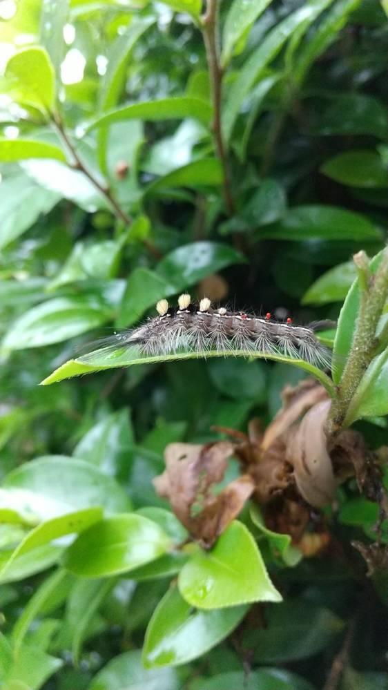 サザンカの葉についていたこの毛虫の名前を教えて下さい 初めて見る毛虫で、ネットで調べたらマイマイガという虫に体は少し似ているようですが、わかりませんでした