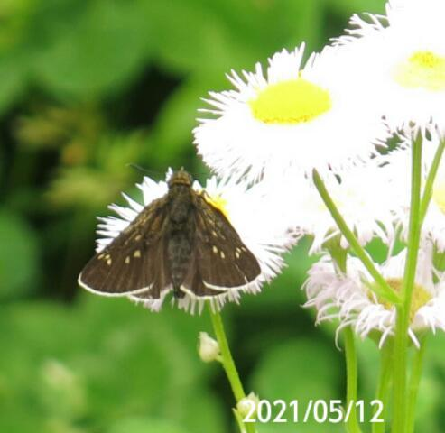 あまり見かけない蝶の名前を教えて下さい、 岐阜県美濃加茂市で、 撮影20210512