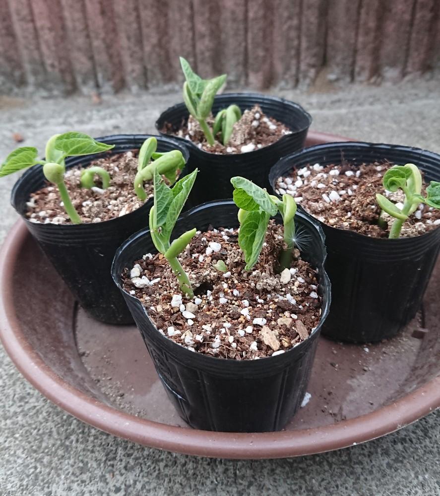 この芽は何ですか? 白い豆のような種でした。