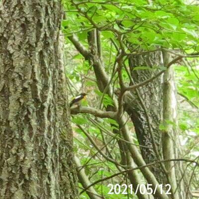 見たことのない小鳥の名前を教えて下さい、 画像真ん中やや左寄りです、 岐阜県米田白山で 撮影 20210512