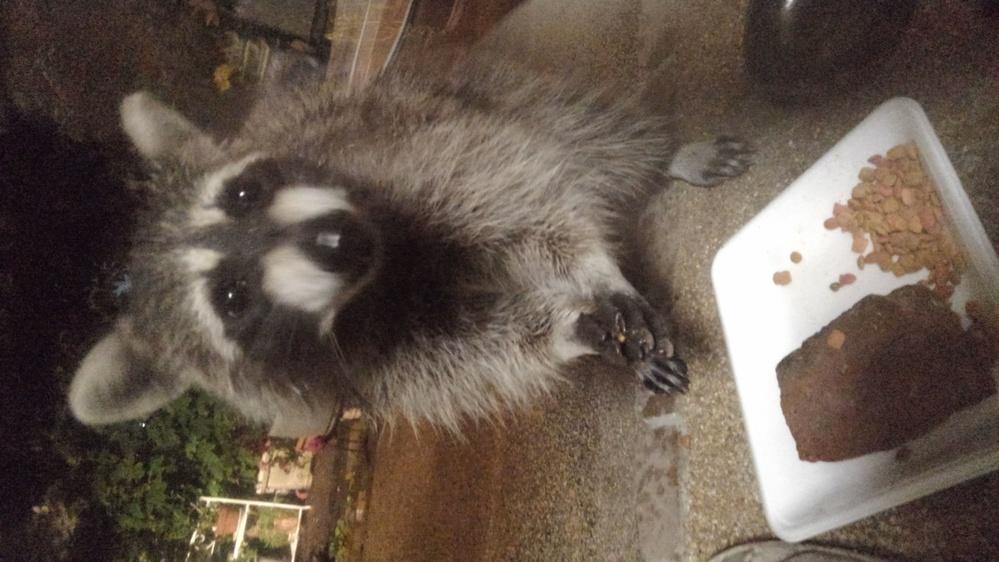 今夜、外猫用に餌を置いていたら写真の動物が来ました‼ 何者なんでしょうか?